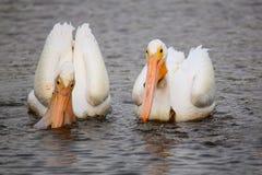 White Pelicans (Pelecanus erythrorhynchos) feeding Royalty Free Stock Photo