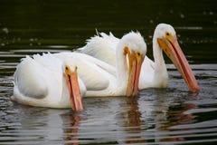 White Pelicans (Pelecanus erythrorhynchos) feeding Stock Images
