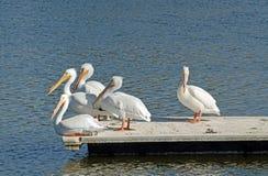 White Pelicans (Pelecanus erythrorhynchos) Royalty Free Stock Photo