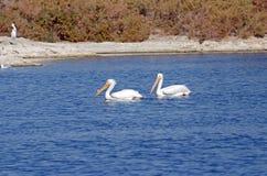 White Pelicans (Pelecanus erythrorhynchos) Royalty Free Stock Photography