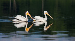 White Pelicans (Pelecanus erythrorhynchos) Stock Photos