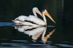 White Pelicans (Pelecanus erythrorhynchos) Royalty Free Stock Photos