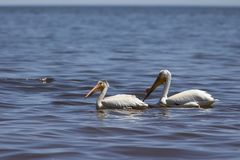 White Pelicans Pelecanus erythrorhynchos on the water. Nature scene from lake Michigan Wisconsin stock photo