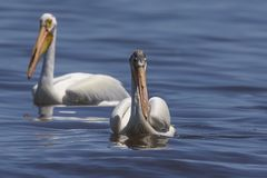 White Pelicans Pelecanus erythrorhynchos on the water. Nature scene from lake Michigan Wisconsin stock image