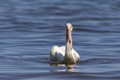White Pelicans Pelecanus erythrorhynchos on the water. Nature scene from lake Michigan Wisconsin royalty free stock image