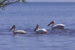 White Pelicans Pelecanus erythrorhynchos on the water. Nature scene from lake Michigan Wisconsin stock photos