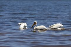 White Pelicans Pelecanus erythrorhynchos on the water. Nature scene from lake Michigan Wisconsin royalty free stock photos