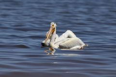 White Pelicans Pelecanus erythrorhynchos on the water. Nature scene from lake Michigan Wisconsin royalty free stock images