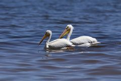 White Pelicans Pelecanus erythrorhynchos on the water. Nature scene from lake Michigan Wisconsin royalty free stock photography