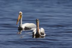 White Pelicans Pelecanus erythrorhynchos on the water. Nature scene from lake Michigan Wisconsin stock photography