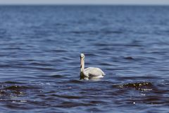 White Pelicans Pelecanus erythrorhynchos on the water. Nature scene from lake Michigan Wisconsin royalty free stock photo
