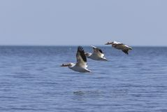 White Pelicans Pelecanus erythrorhynchos on the water. Nature scene from lake Michigan Wisconsin stock images