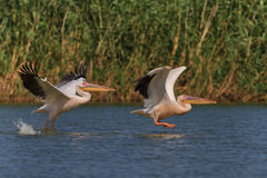 White pelicans (pelecanus onocrotalus) Stock Photography