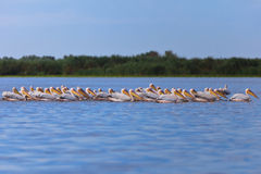White pelicans (pelecanus onocrotalus) Stock Photo