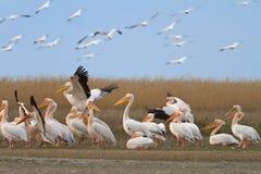 White pelicans (pelecanus onocrotalus) Stock Images