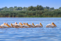 White pelicans (pelecanus onocrotalus) Stock Photos