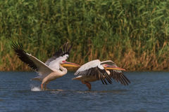 White pelicans (pelecanus onocrotalus) Royalty Free Stock Photo