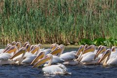 White pelicans in Danube Delta, Romania. White pelicans pelecanus onocrotalus in Danube Delta, Romania stock photos