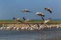 White pelicans (pelecanus onocrotalus) Royalty Free Stock Photos