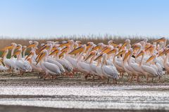 White pelicans (pelecanus onocrotalus) Royalty Free Stock Image