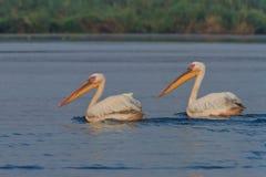 White pelicans (pelecanus onocrotalus) Royalty Free Stock Photo