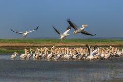 White pelicans (pelecanus onocrotalus) Royalty Free Stock Images
