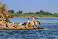 White pelicans (pelecanus onocrotalus) Royalty Free Stock Images