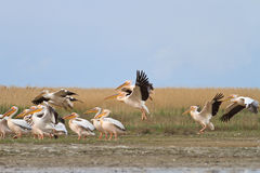 White pelicans pelecanus onocrotalus. In Danube Delta, Romania royalty free stock images