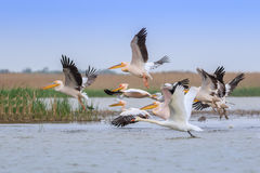 White pelicans pelecanus onocrotalus Royalty Free Stock Images