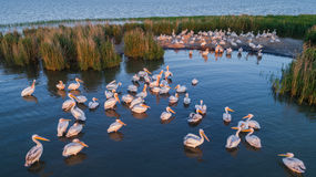 White pelicans pelecanus onocrotalus. In Danube Delta, Romania. Aerial view with drone royalty free stock photography