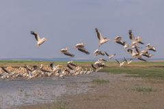 White pelicans pelecanus onocrotalus stock photo