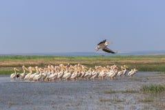 White pelicans pelecanus onocrotalus stock images