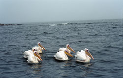 White pelicans, Pelican Bay, Namibia. The Great White Pelican, Pelecanus onocrotalus also known as the Eastern White Pelican or White Pelican is a bird in the Stock Image