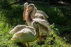 White pelicans. A picture of white pelicans stock images