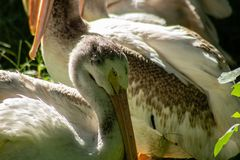 White pelicans. A picture of white pelicans royalty free stock images