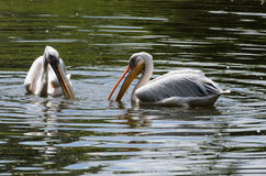 White pelicans in pond in zoo Royalty Free Stock Images