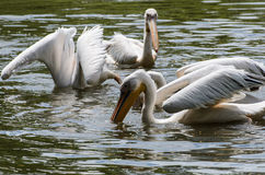 White pelicans in pond in zoo Stock Images