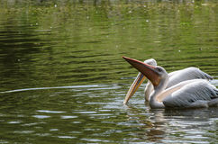 White pelicans in pond in zoo Royalty Free Stock Photo