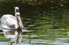 White pelicans in pond in zoo Stock Photo