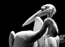 White pelicans portrait Stock Photo