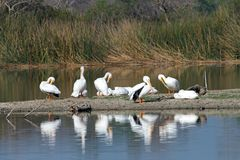 Many white pelicans preening on a marsh land beach. White pelicans preening on the beach with other pelicans resting nearby. The American white pelican Pelecanus Stock Photo