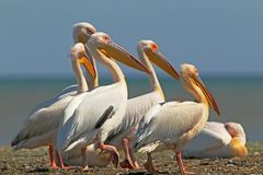White pelicans rest on a sandbank. In a bright sunny day stock photo