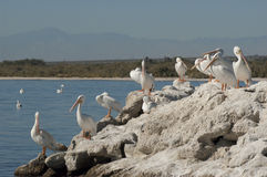 White pelicans resting Stock Image