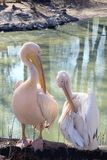 White pelicans on the river bank on a sunny day Stock Photography