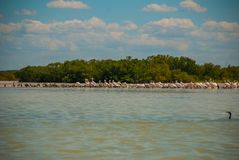 White pelicans is by the river in the national Park Rio Lagartos, Mexico. Yucatan.  Royalty Free Stock Images