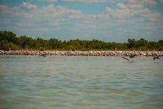 White pelicans is by the river in the national Park Rio Lagartos, Mexico. Yucatan.  Stock Photo