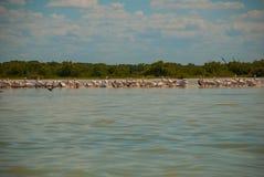 White pelicans by the river Rio Lagartos, Mexico. Yucatan. White pelicans by the river in the nature reserve of Rio Lagartos, Mexico. Yucatan Stock Photography