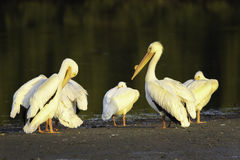 White Pelicans on a Sandbar. In a late afternoon golden light at a mangrove in Ding Darling Wildlife Refuge on Sanibel Island Florida royalty free stock photos