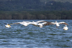 White Pelicans with spread wings Stock Photography