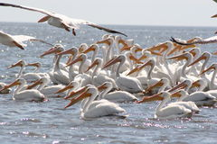 White pelicans Stock Photography